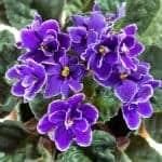 African Violet essence oil
